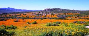 Calvinia field